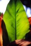 huge leaf